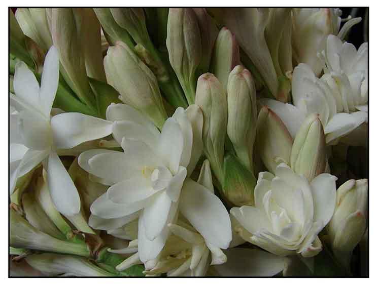 White Flower Oil Chinese Medicine