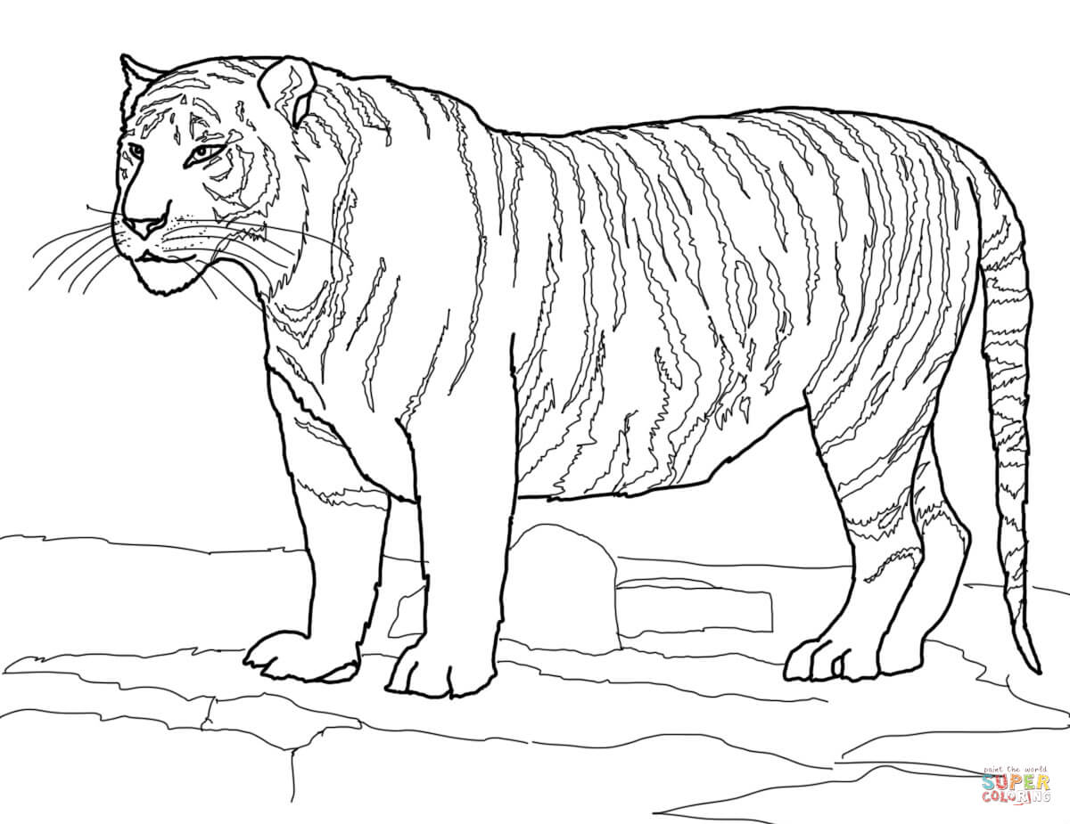 White Bengal Tiger Coloring Page Free Printable Coloring Pages