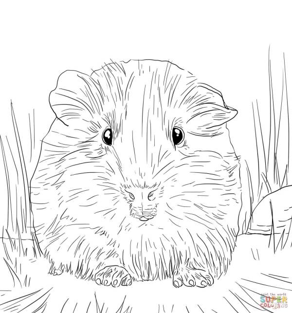 guinea pig coloring page # 11