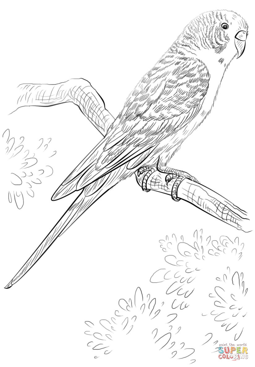 Budgie Parrot Coloring Page Free Printable Coloring Pages