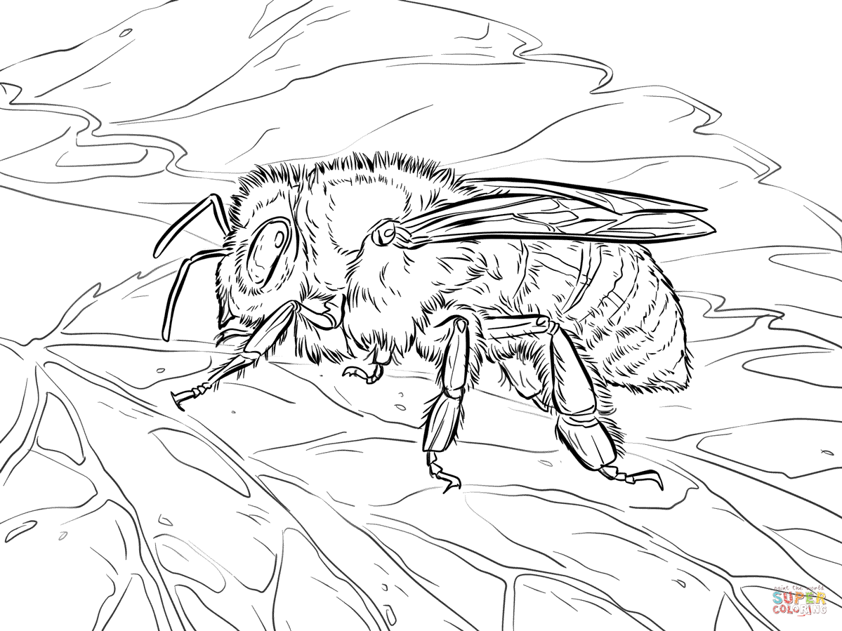 Western Honey Bee Coloring Page Free Printable Coloring Pages