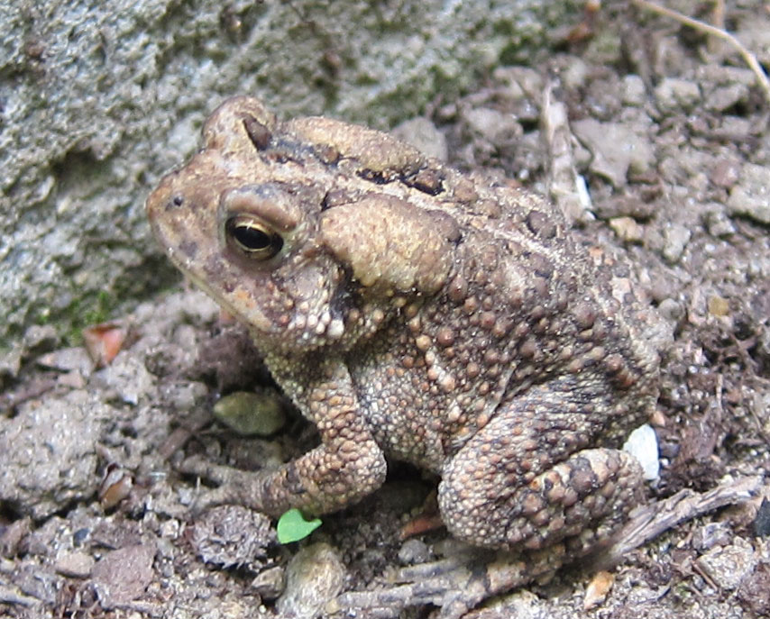 American Toad - Frogs and Toads in Sutton Massachusetts