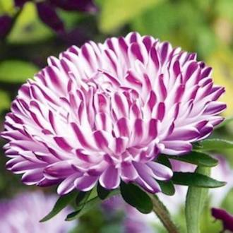 Chinese Aster Seeds   How to plant China Asters   Annual Flowers Blue Ribbon Aster seeds