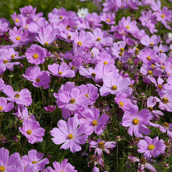 Cosmos Seeds  42 Top Cosmos   Annual Flower Seeds Apollo Pink cosmos seeds Cosmos Apollo Pink