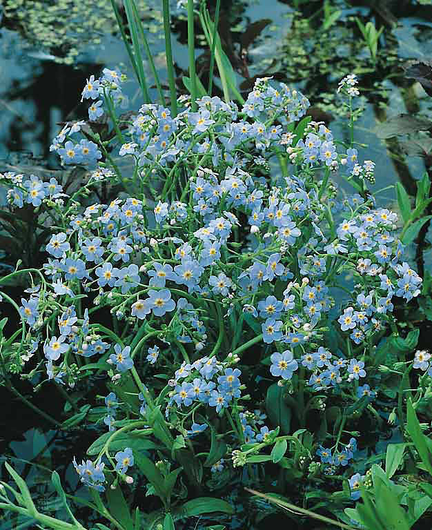 Forget me not Seeds  2 Forget me nots   Perennial Flower Seeds WATER Forget me not Seeds Myosotis scorpiodes