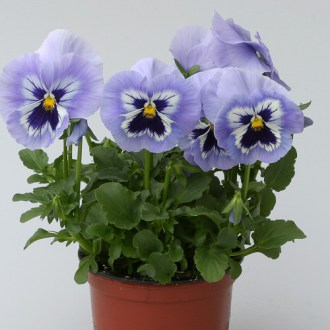 Pansy Seeds   30 Pansies   Annual Flower Seeds Pansies Heat Elite Porcelain Blue Shades Heat Elite Porcelain Blue Shades  pansies