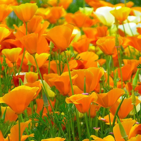 California Poppy Seeds   Wildflower Seeds   Annual Flower Seeds Poppy California Golden