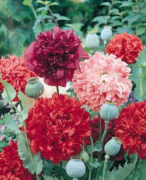 Peony Poppy Seeds   Pompom Poppies   Annual Flowers Poppy Peony Giant Double Mix