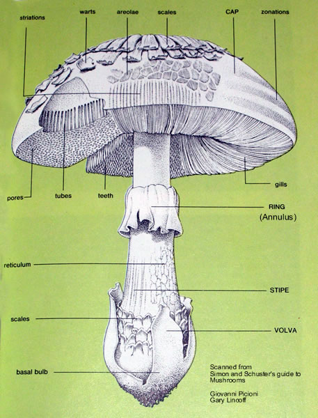 Key Of A Mushroom Diagram Layout Wiring Diagrams
