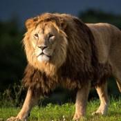 Lion Vs Tiger Aslan Vs Kaplan (8)