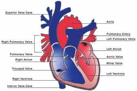 Interior heart images 4k pictures 4k pictures full hq wallpaper affordable human heart posters for sale at allposters com interior of the heart suivra co interior exterior of heart the view diagram internal heart ccuart Images
