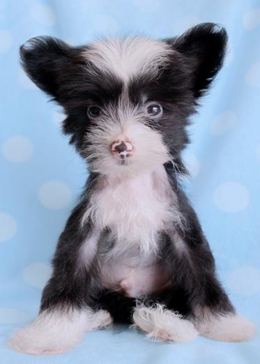 Chinese Hairless Dog Mixed Pomeranian