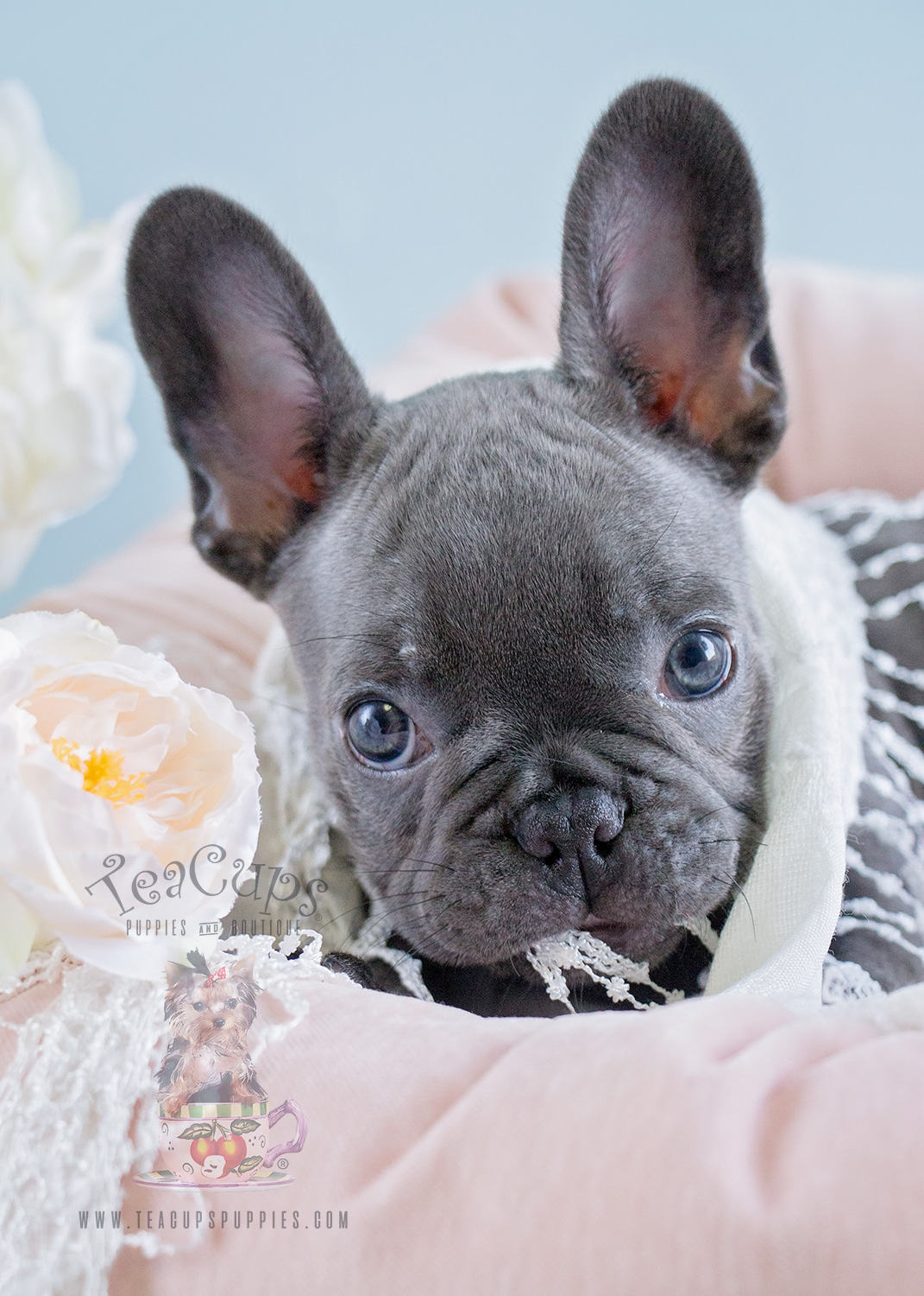 Blue Fawn French Bulldog