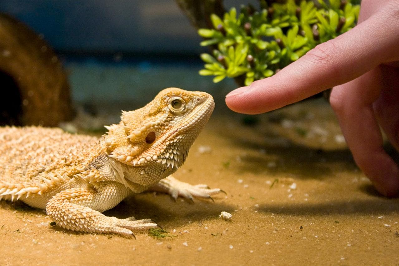 Are bearded dragons the ideal pet?