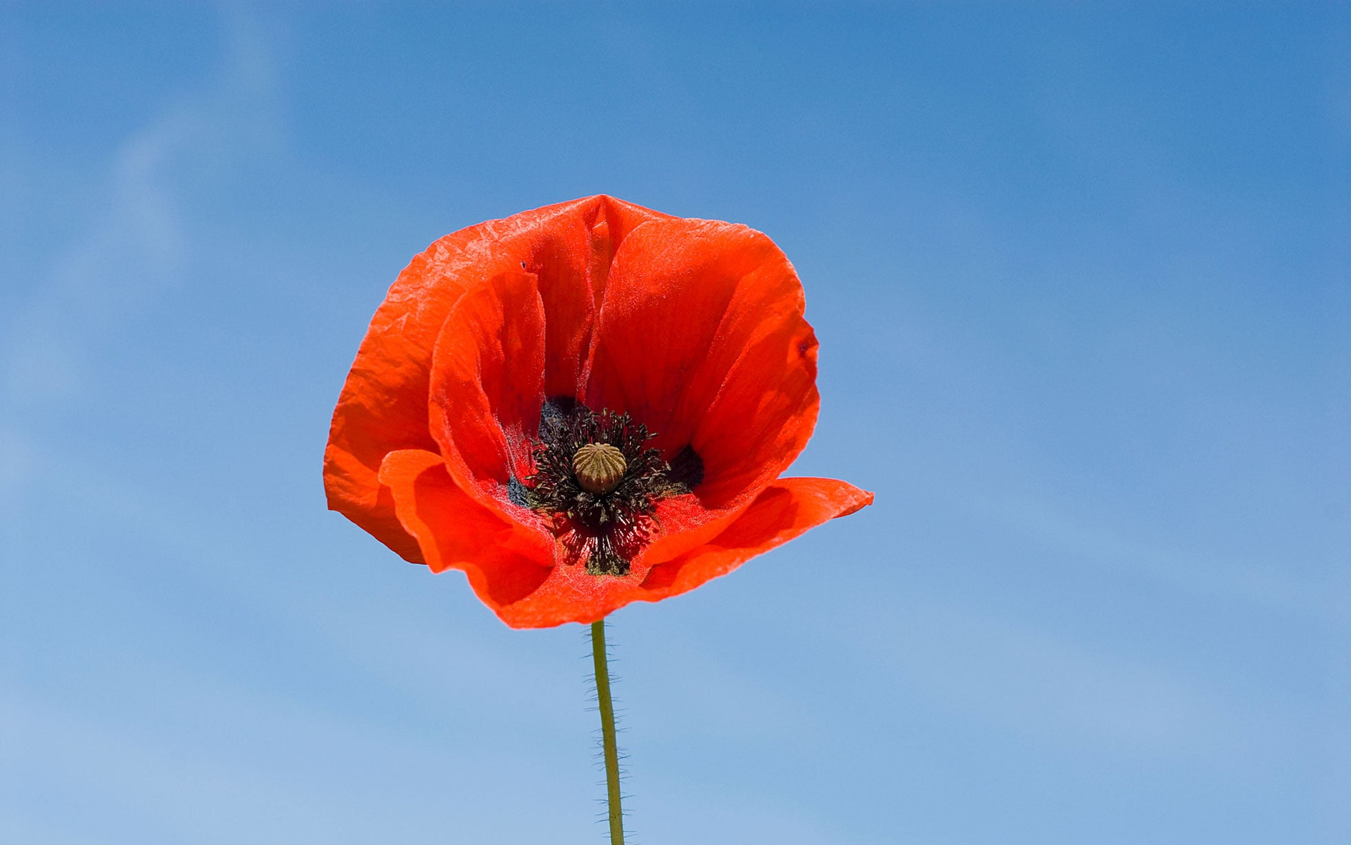 14 fascinating facts about poppies   The Telegraph Field of poppies