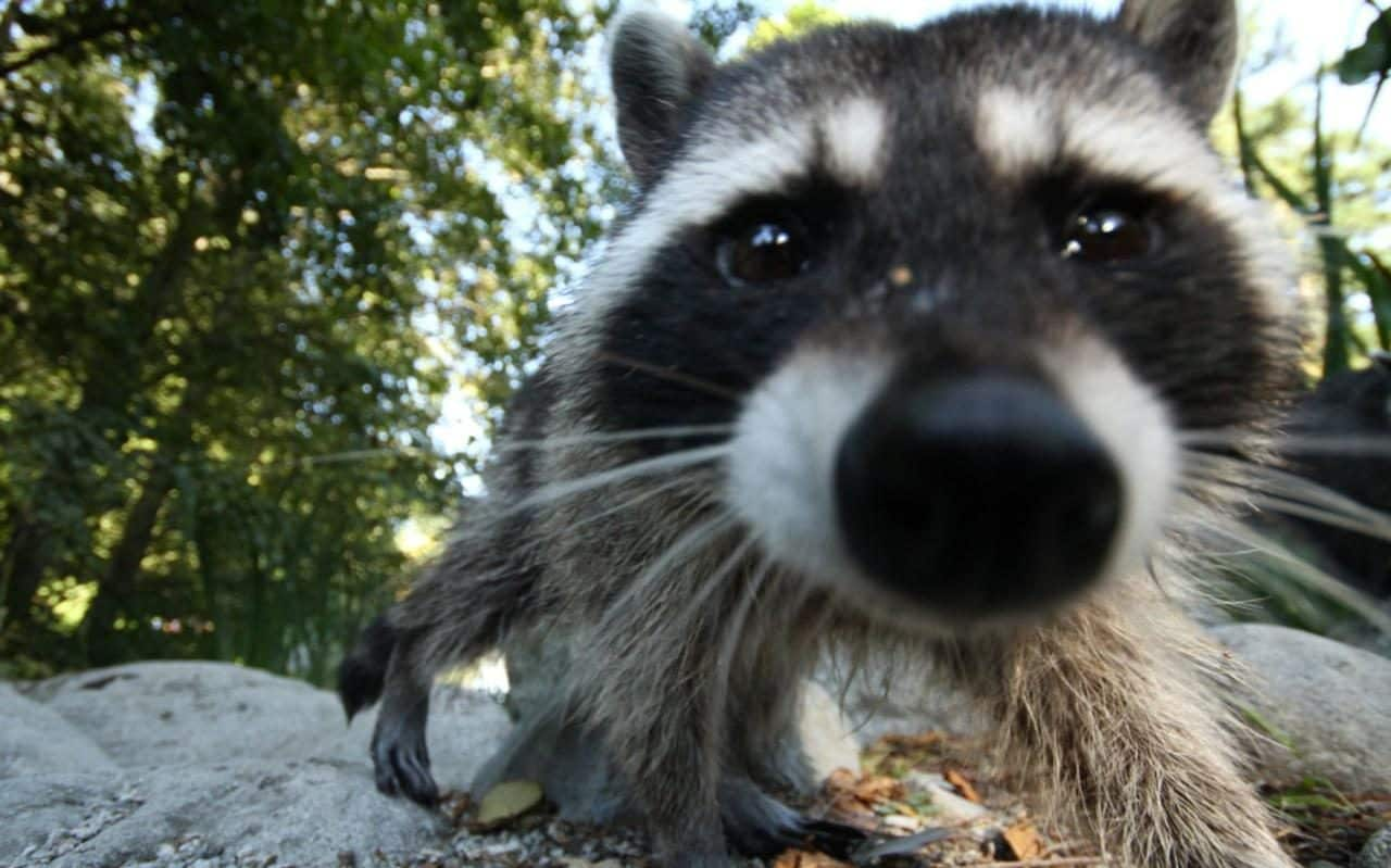 Raccoon Cuts Power To 39 000 In Washington After Breaking
