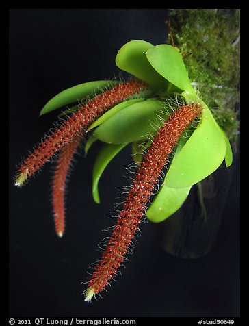 Picture Photo Oberonia Toppingii A Species Orchid