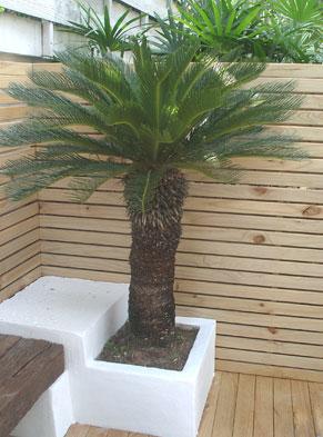 Accent Palms As Features Sago Palm ต้นปรง Thai