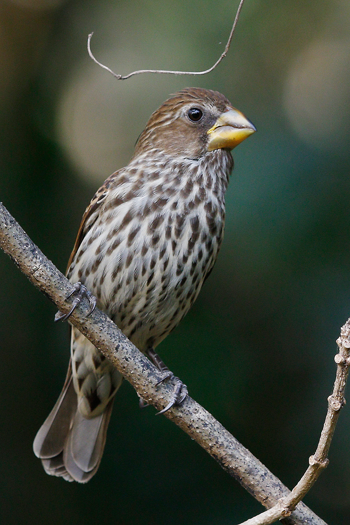 Thick Billed Weaver Bird Amp Wildlife Photography By
