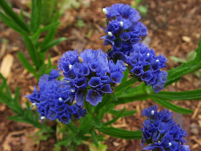 Statice  How to Plant  Grow and Dry Statice Flowers   Garden Helper         Blue Flowering Statice Plant  Limonium sinuatum