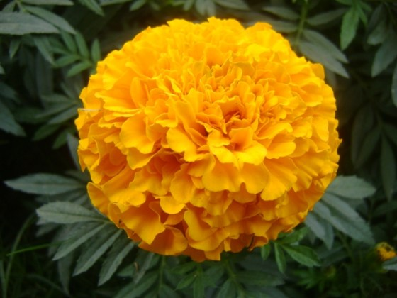 Companion Plants for Vegetable Gardens  Tagetes  Marigold  Orange Marigolds