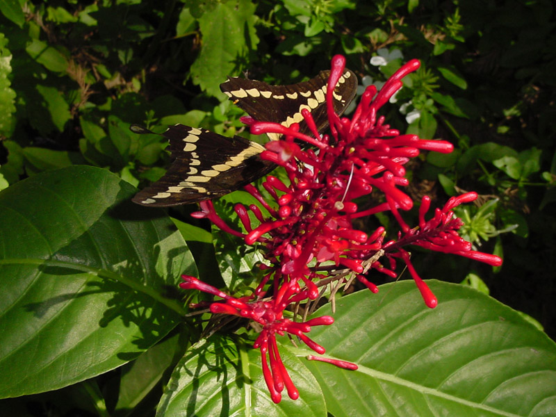 Gainesville Landscaping Plant Of The Month Firespike