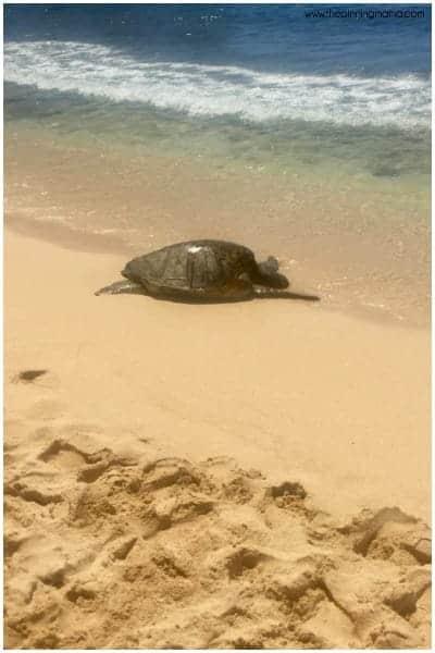 Catch a sea turtle basking in the sun at Poipu Beach Kauai.