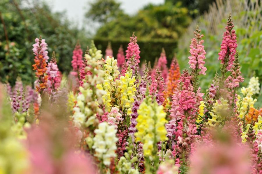 How to Grow and Care for Snapdragon Plants