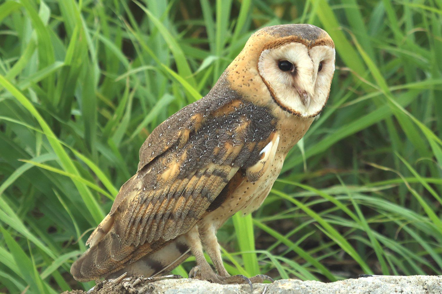 barn owl sounds - HD 1500×1000