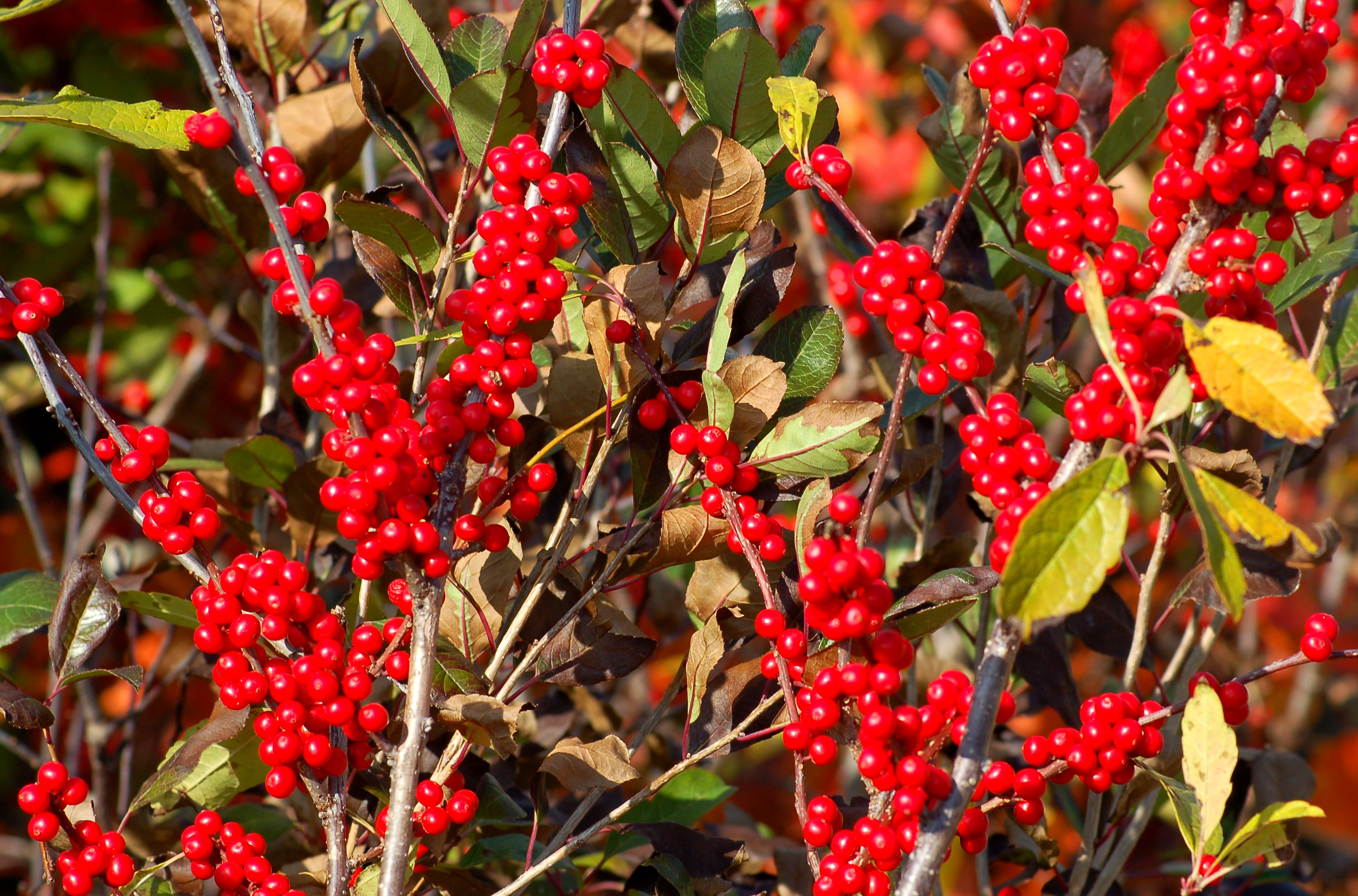 Christmas Decorating Outdoor Bushes