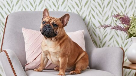 french bulldog full profile history and care