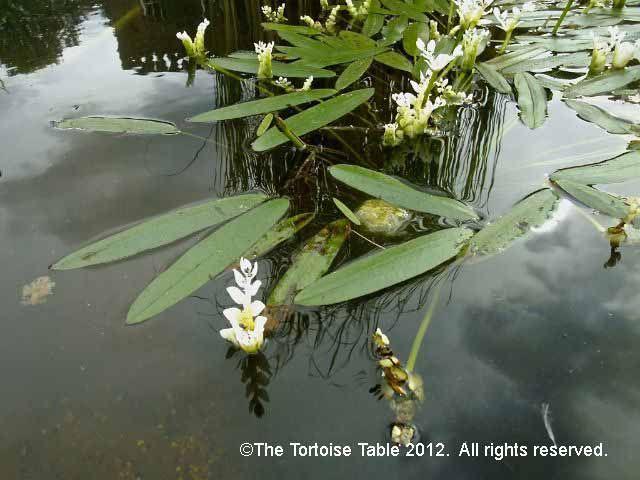 Water Hawthorn Pond Plant