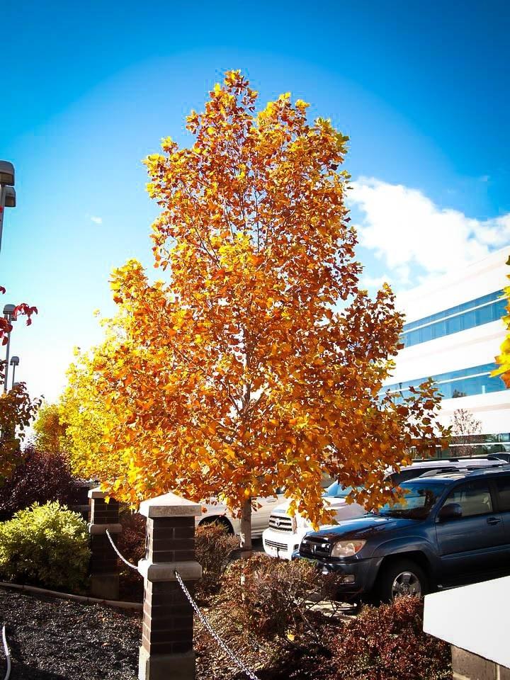 Buy Tulip Poplar Trees Online The Tree Center
