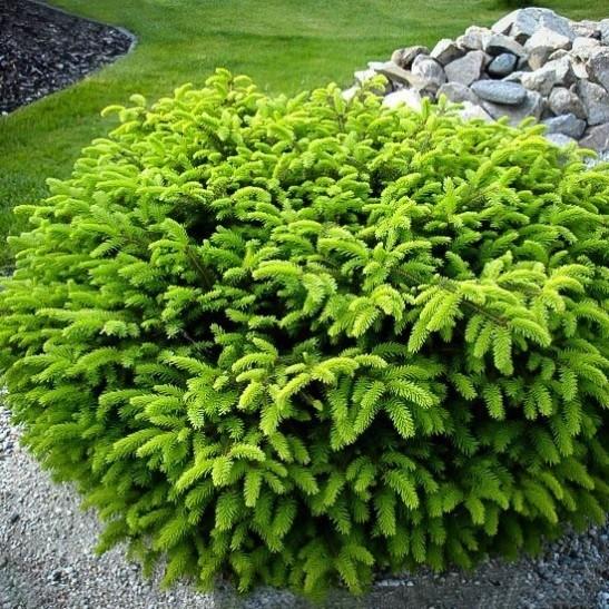 Dwarf Evergreen Holly Shrub