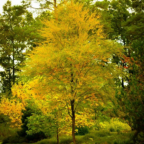 Black Birch Tree For Sale The Tree Center