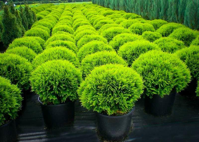 Golden Bamboo Plants Sale
