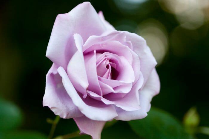 Blue Moon Rose Hello Hello Plants Amp Garden Supplies