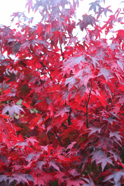 Acer Atropurpureum Japanese Maple 13 Quot Pot Hello Hello