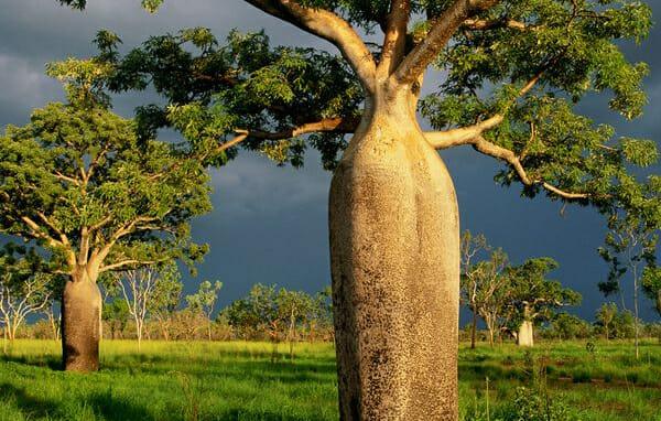 The Australian Boab Tree News Plants Hello Hello