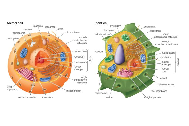 Essential Differences Between Animal and Plant Cells Differences Between Animal Cells and Plant Cells