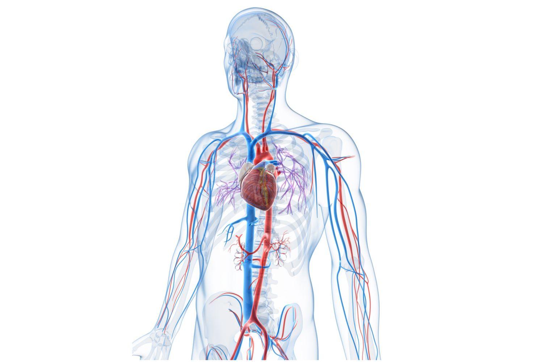 circulatory system images - HD1024×768
