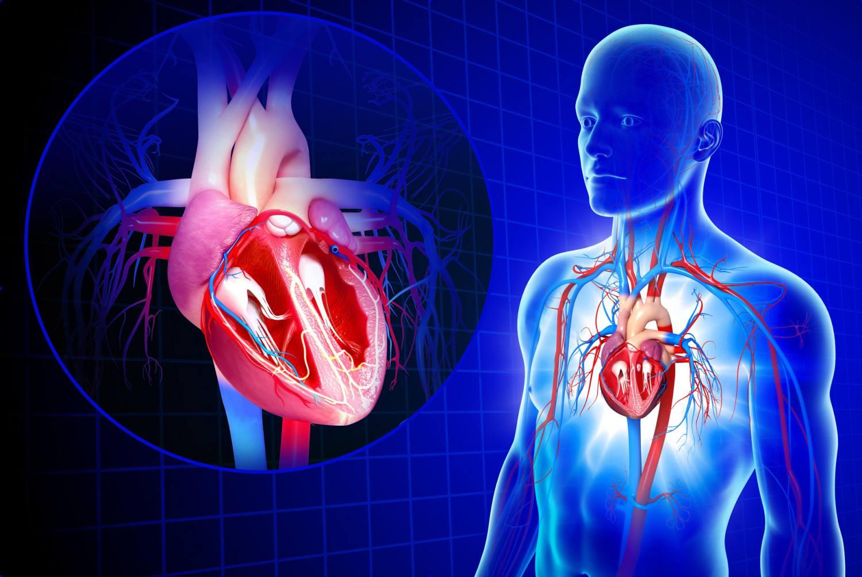 circulatory system images - HD1500×1003