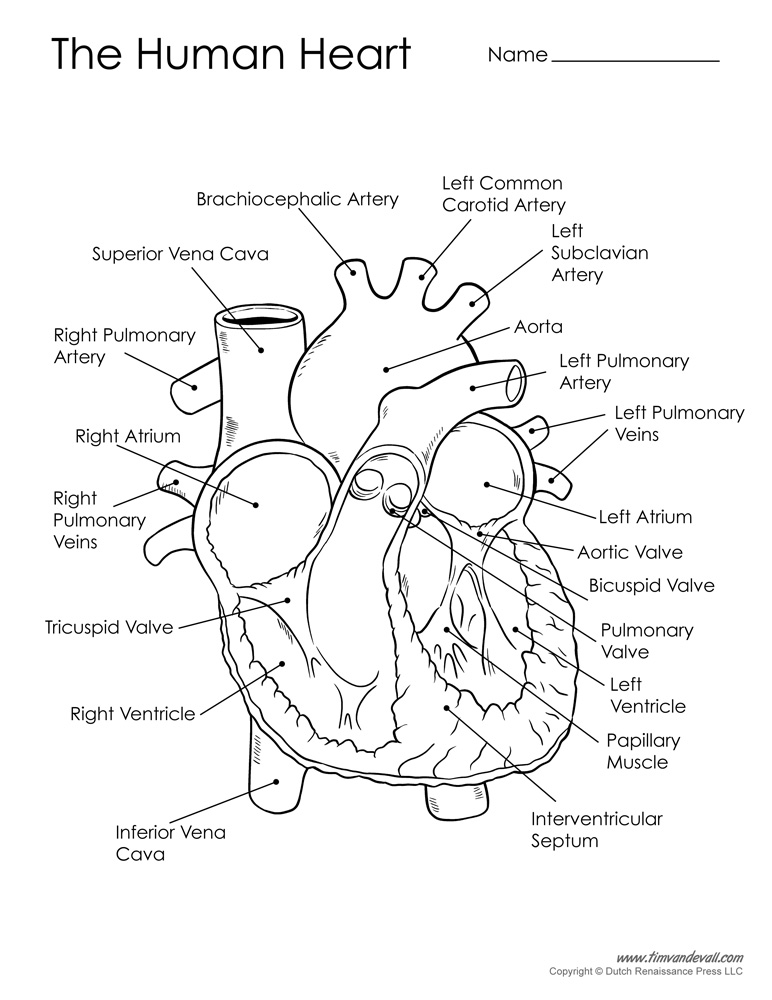 Heart Diagram Not Labeled