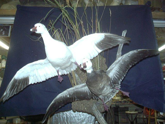 Two Flying Snow Geese Dave S School Of Taxidermy