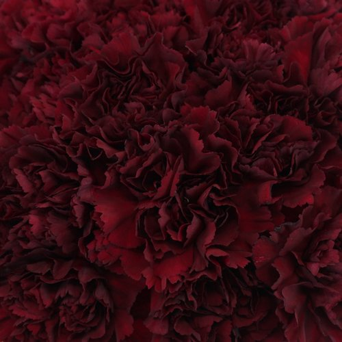 Carnation Flowers   Burgundy Bunch of 100 Stems   Toronto Bulk Flowers Carnation Flowers     Burgundy