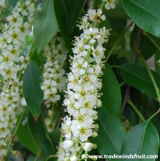 Capulin Cherry Prunus Salicifolia Seeds
