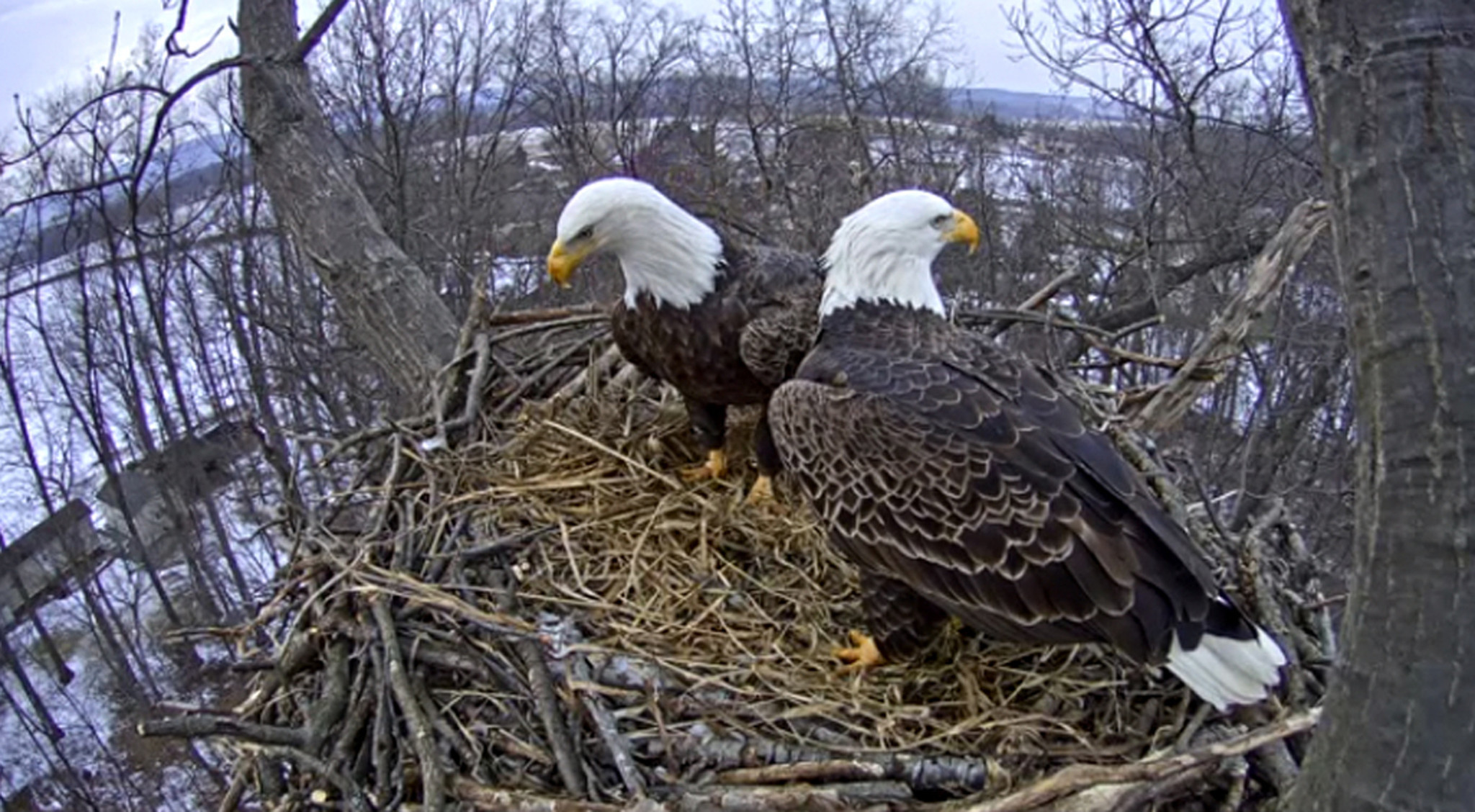 Hanover Eagle Nest Partially Collapses Ahead Of Cam