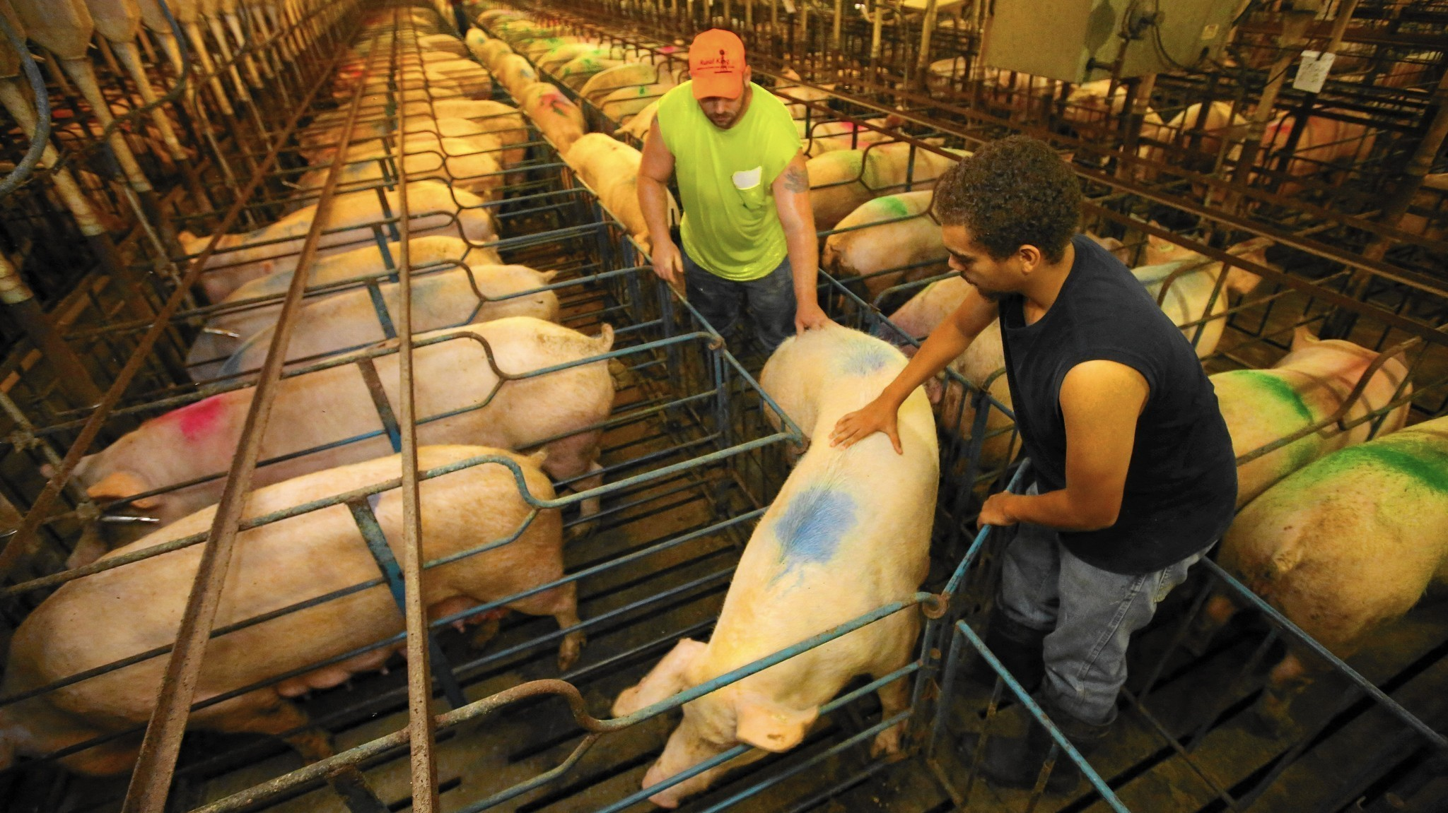 Pork Producers Defend Gestation Crates But Consumers