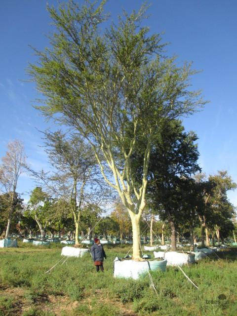 Vachellia Xanthophloea Trees Sa