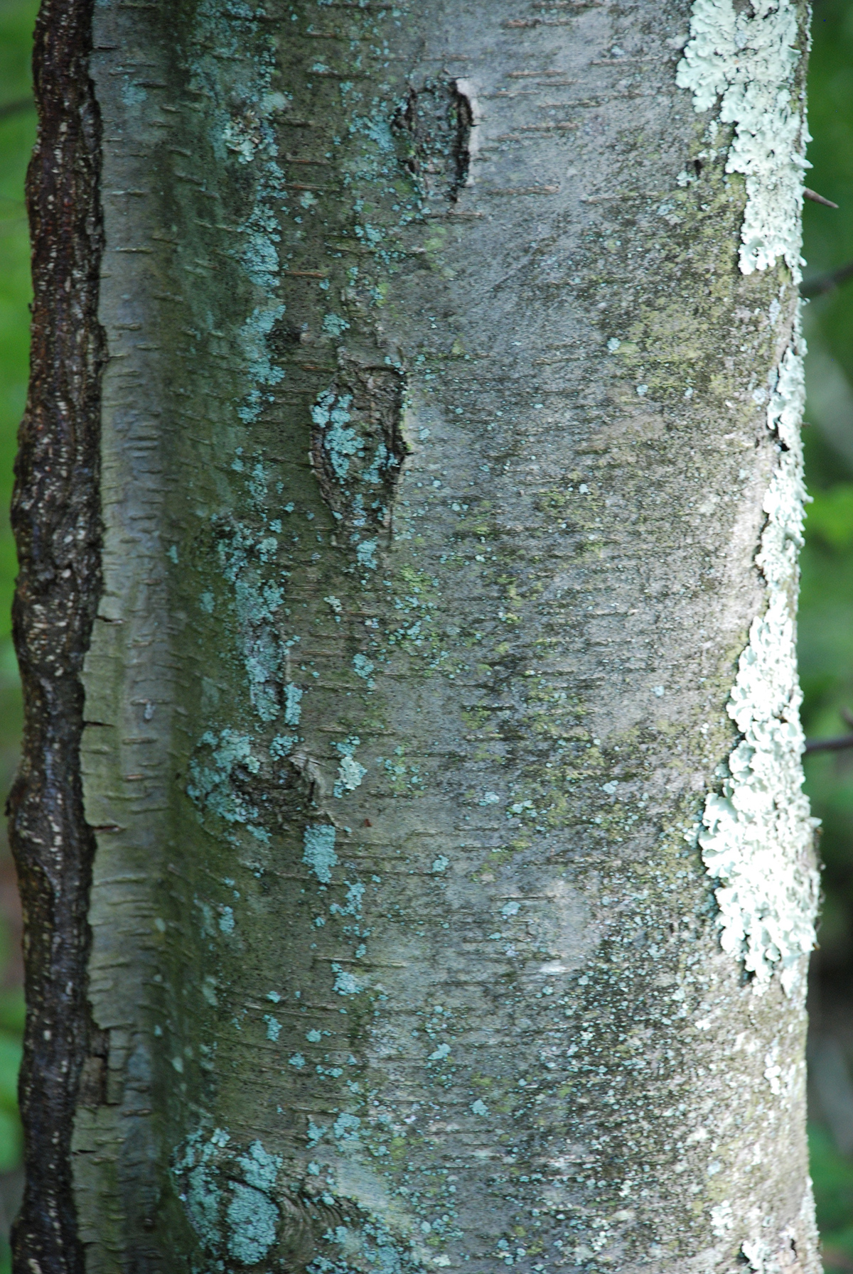 Black Birch The Irvington Tree Trail